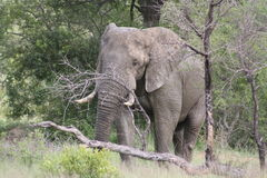 Bull Elephant scratching on tree Royalty Free Stock Photo