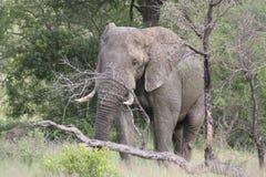 Bull Elephant scratching on tree Royalty Free Stock Photo