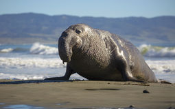 Free Bull Elephant Seal Royalty Free Stock Images - 86838759