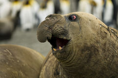 Bull Elephant Seal Sowing Off Large Nose. A Bull Southern Elelphant Seal dispaying his enormous nose royalty free stock images