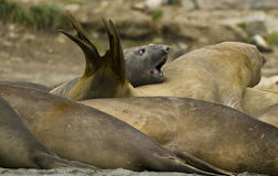 Bull Elephant Seals attempting to sleep. Royalty Free Stock Photography
