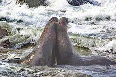Bull elephant seals bellow and battle in Pacific Ocean surf Stock Photos