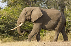 Bull Elephant, South Africa. Bull African Elephant (Loxodonta africana) with large tusks, walking in South Africa's Kruger Park Stock Images