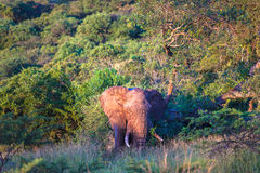 Bull Elephant Tree Rubbing. Bull Elephant at days end rubbing against a tree on its side. The horizontal photo image captures  the green thick vegetation and Stock Photos