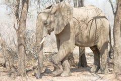 Bull Elephant with trees Stock Photo
