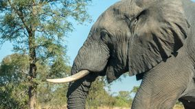 A lone bull elephant in Chobe park. Bull elephant with tusks in Chobe park in Botswana africa with trees in background royalty free stock photos