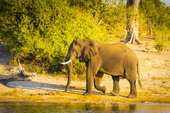 Bull Elephant Walking Along River Royalty Free Stock Photography