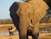 Bull elephant with waterhole in background Royalty Free Stock Images