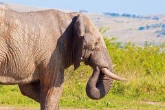 Bull Elephant with wet body Stock Photo