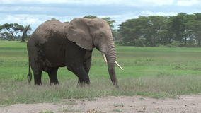 A bull elephant in the wild stock footage