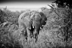 Bull Elephant Stock Images