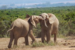 Bull elephants fighting Stock Images