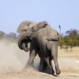 Bull Elephants Fighting - Botswana Royalty Free Stock Photos