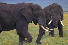 Bull Elephants Sparing in the Crater stock image