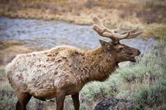 Bull Elk. In yellowstone park Royalty Free Stock Photos
