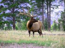 Free Bull Elk Royalty Free Stock Photo - 121475