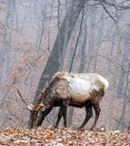 Bull elk Stock Photos