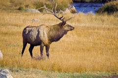 Bull Elk. During the annual Rut in Colorado's Rocky Mountain National Park Royalty Free Stock Image