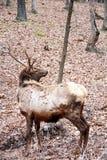 Bull elk Stock Photography