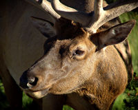Bull elk. Portrait of a bull elk, yellowstone national park royalty free stock images