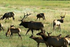 Bull Elk. In herd in Colorado mountains royalty free stock photos