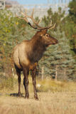 Bull Elk. A nice bull elk standing in an open meadow Stock Image