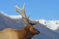 Bull Elk Royalty Free Stock Photo