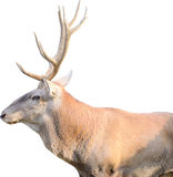 Bull Elk. (Cervus Elaphus) Isolated On White Royalty Free Stock Image