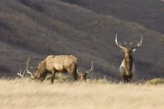 Bull Elk Royalty Free Stock Photography