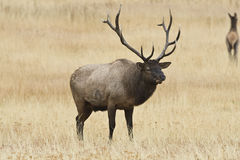 Bull Elk Royalty Free Stock Images