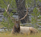 Bull elk. In Yellowstone Park Royalty Free Stock Photography