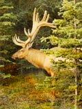 Bull Elk Antlers Forest Stock Image