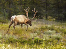 Bull Elk Antlers Forest Stock Images