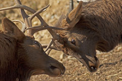Bull elk with antlers locked. Bull elk jostling with antlers locked Stock Photos