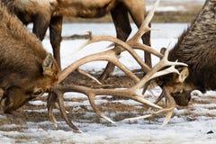 Bull elk antlers locked Royalty Free Stock Image