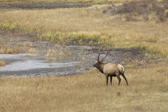 Bull Elk Approaching a Pond Royalty Free Stock Photos