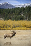 Bull elk, aspen and mountains. Portrait of a bull elk in front golden aspen trees and snow covered Rocky mountains, during the fall rut in Rocky Mountain Stock Photos