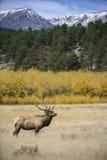 Bull elk, aspen and mountains Stock Photos