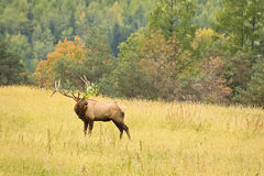 Bull elk with attitude Stock Photos