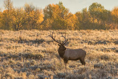 Bull Elk in Autumn Royalty Free Stock Photos