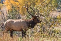 Bull Elk in Autumn Royalty Free Stock Images