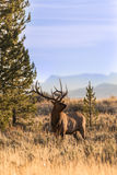 Bull Elk in Autumn Stock Images