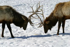 Bull Elk Battle. Two big bull elk lock horns (antlers) on a cold winter day. Let the competition begin Stock Photos
