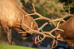 Bull Elk Battle Close Up. A pair of bull elk fighting for dominance during the fall rut Royalty Free Stock Image