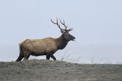 Bull elk on beach. A bull elk walks on a beach while eating, with the ocean in the background.  Redwood national park, California, during the annual elk rut Royalty Free Stock Images