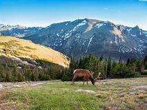 Bull elk with beautiful antlers on early summer evening. Bull elk with large antlers grazing on early summer evening. Rocky Mountain National Park, Colorado royalty free stock photography