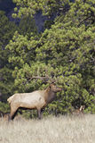 Bull Elk with Bedded Cow Royalty Free Stock Image
