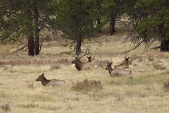 Bull Elk Bedded With Cows Stock Image