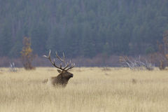 Bull Elk Bedded in Grass Stock Photography
