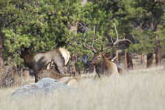 Bull Elk Bedded With Harem. A bull elk bedded with his harem of cows in a mountain meadow Royalty Free Stock Image